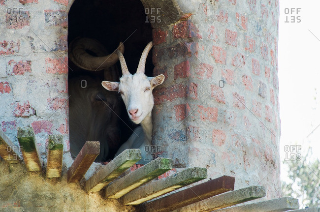 Goat looking out brick structure