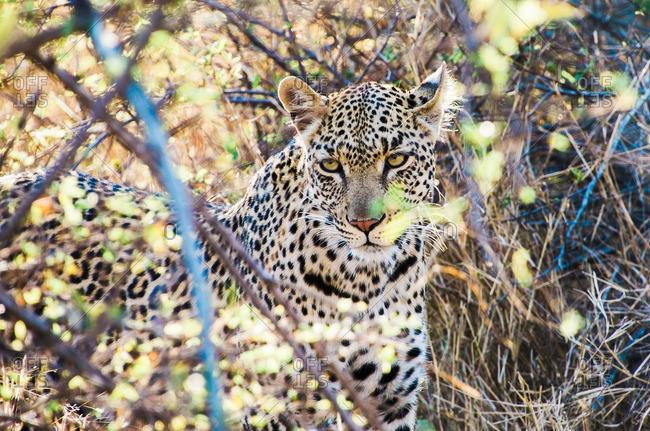 A leopard staring in tall grass