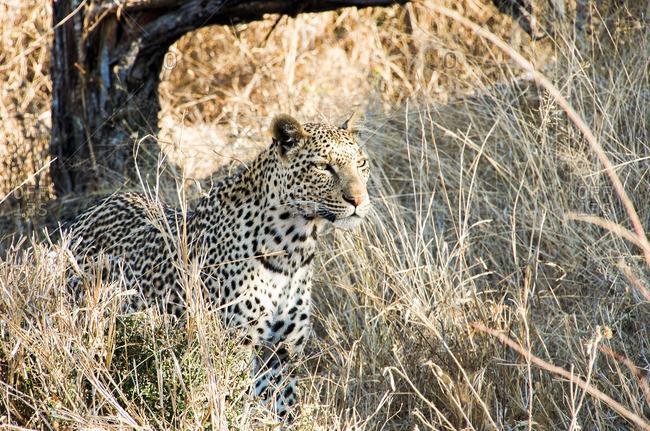 Leopard staring in tall grass
