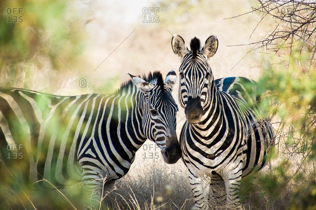 Two zebras in South Africa