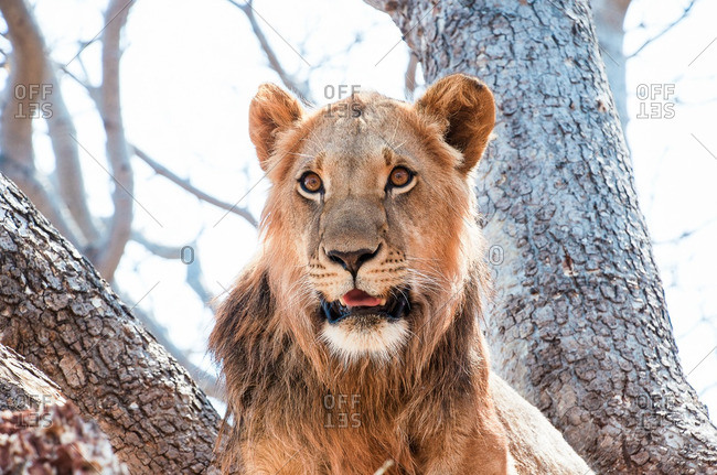 An alert lion in South Africa