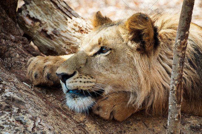 A lion lying on tree