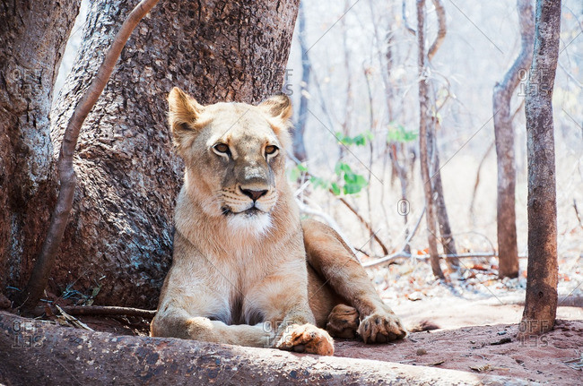 A lion lying by tree