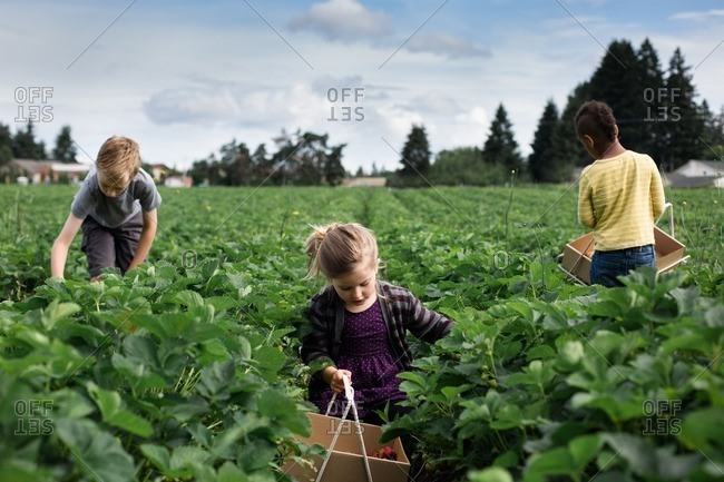 Siblings picking strawberries together
