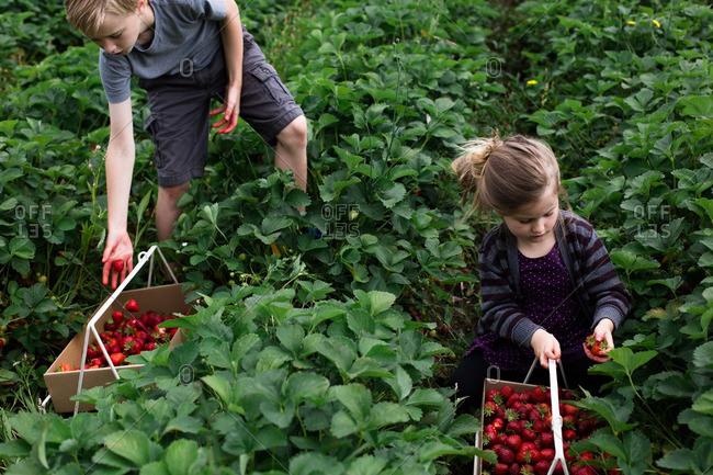 Two kids picking strawberries