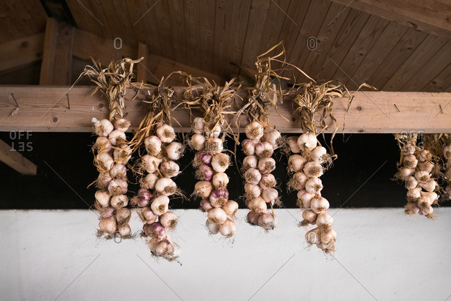 Braids of garlic hanging from barn rafters