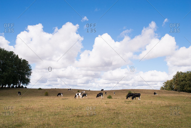 Cows grazing in pasture beneath puffy white clouds