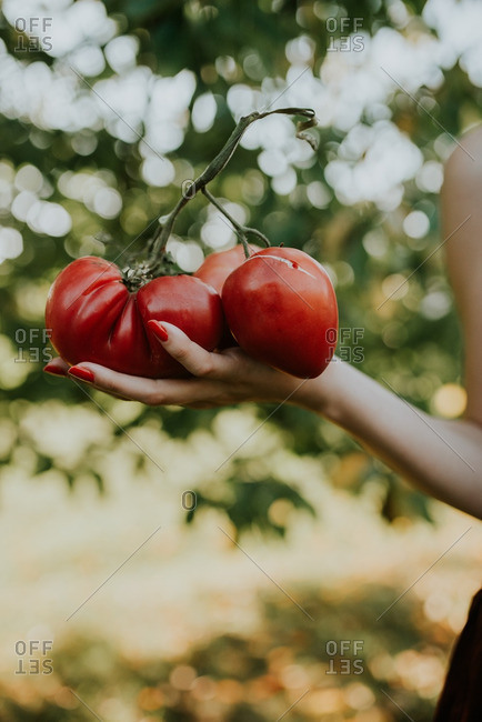 Woman holding red tomatoes on a vine