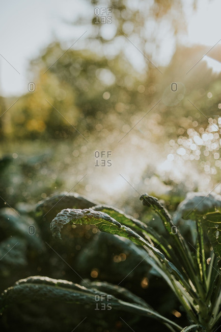 Kale leaves being sprayed with water