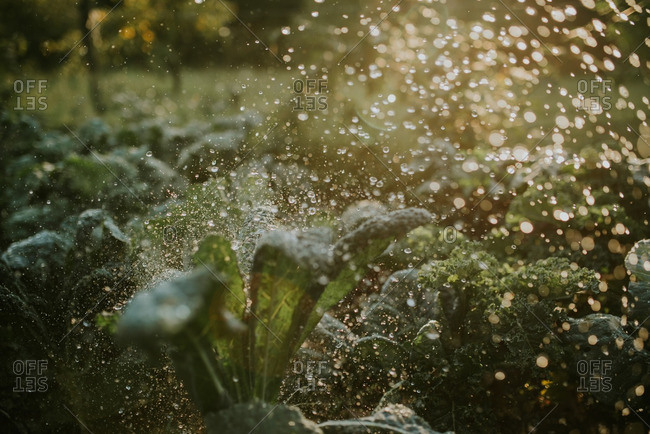 Garden filled with kale being sprayed with water