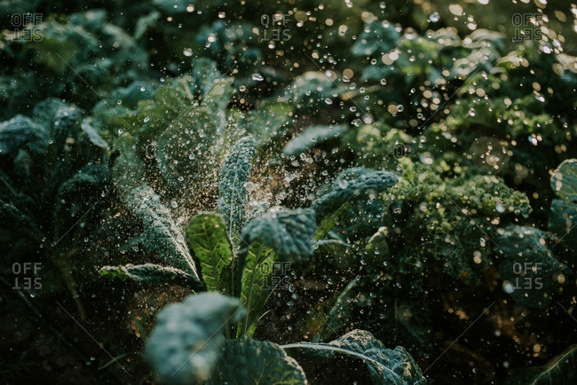 Garden filled with green kale being sprayed with water