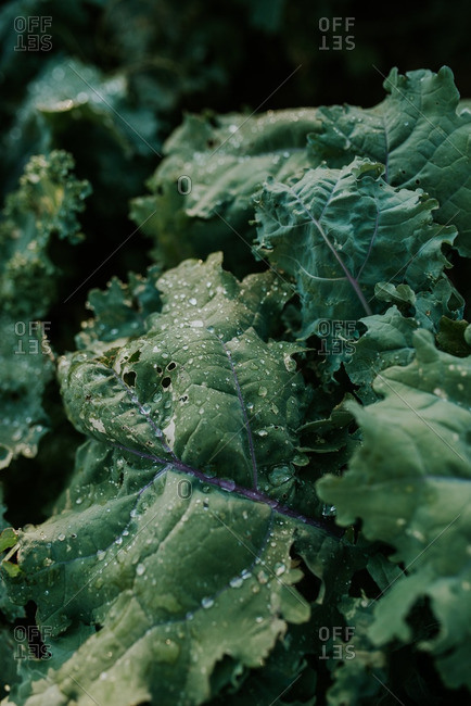 Close up of wet kale leaves in a garden