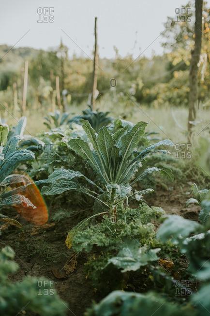 Kale leaves in a garden