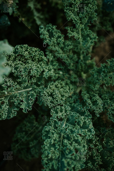Overhead view of kale leaves in a garden