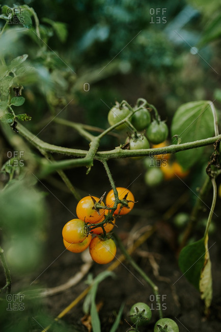 Yellow and green tomatoes ripening on a vine