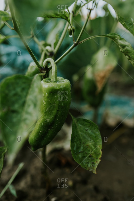 Close up of a green peppers growing in a garden