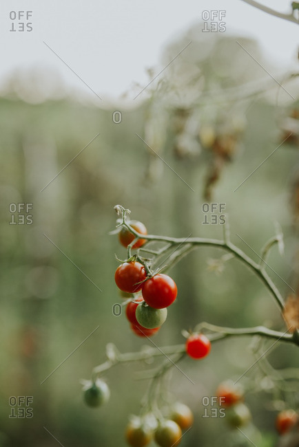 Close up of tomatoes ripening on a vine