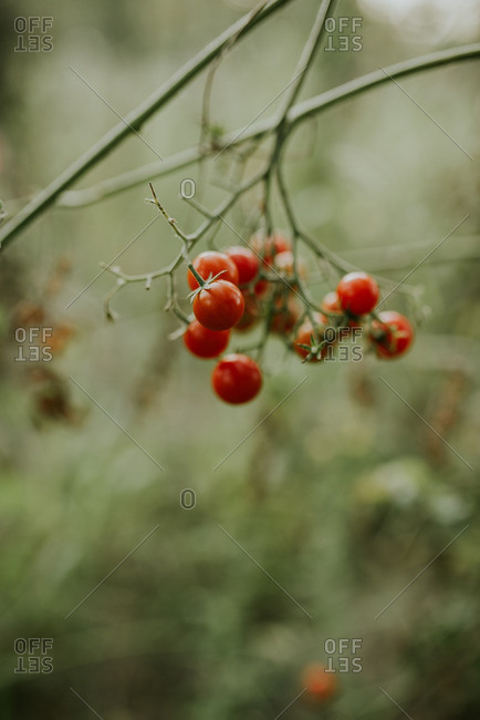 Close up of red tomatoes growing on a vine