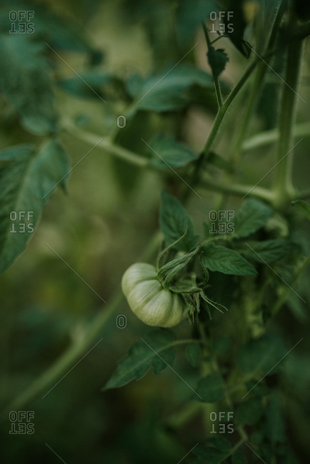 A green tomato ripening on a vine