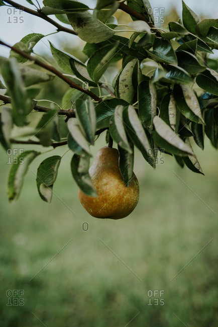 Close up of a pear growing on a tree