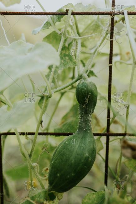 A misshapen cucumber growing on a vine