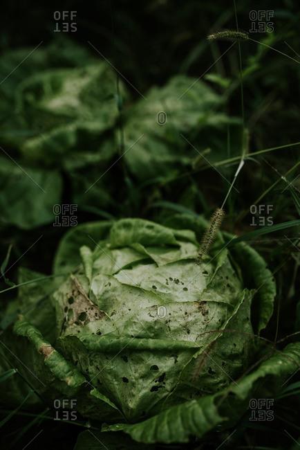 Head of lettuce growing in a garden