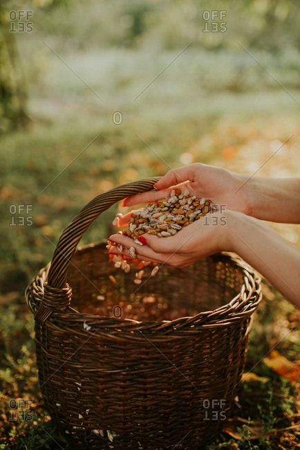 Woman holding handful of beans above a basket