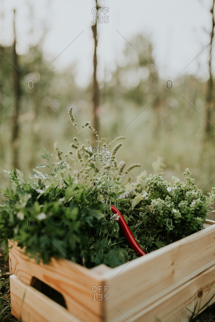 Herbs in a wooden box outdoors