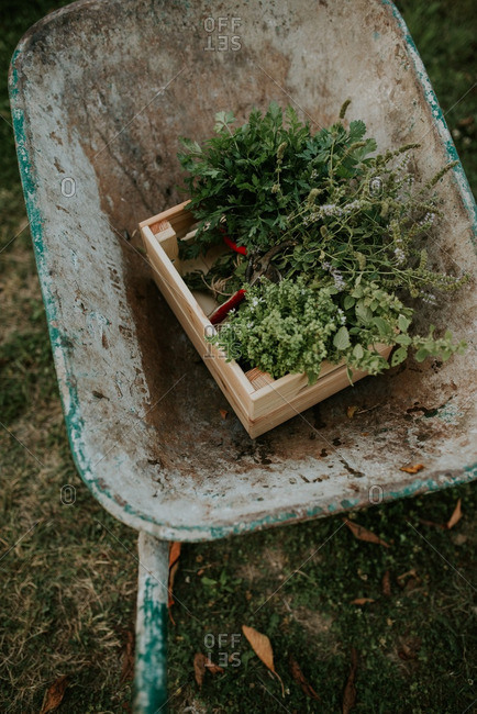 Overhead view of herbs in a wheelbarrow