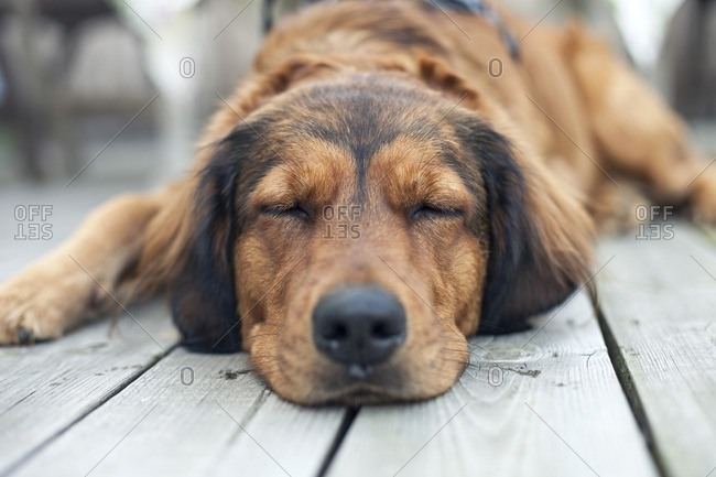 Sleeping dog on a wooden porch