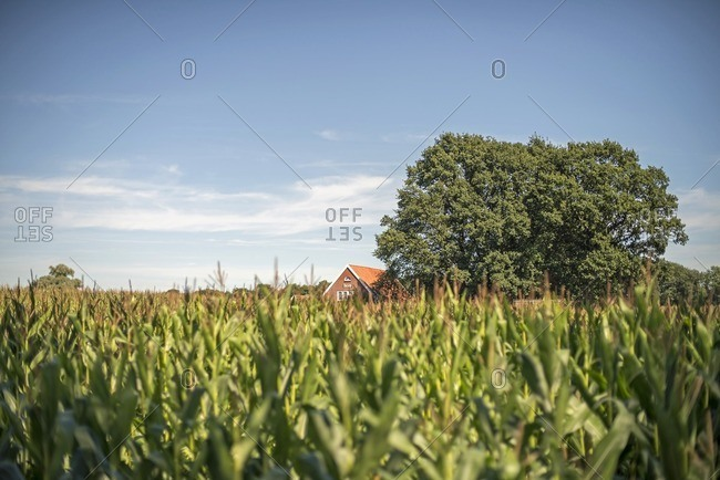 Winterswijk, Achterhoek, Gelderland, The Netherlands - August, 25, 2016: Corn field with farm in summer
