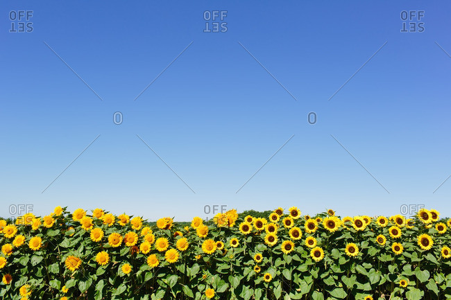 Field of bright yellow sunflowers against a blue sky