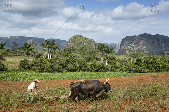 January 23, 2016: Farmer working in the field in the Vinales Valley, UNESCO World Heritage Site, Pinar del Rio, Cuba, West Indies, Caribbean, Central America