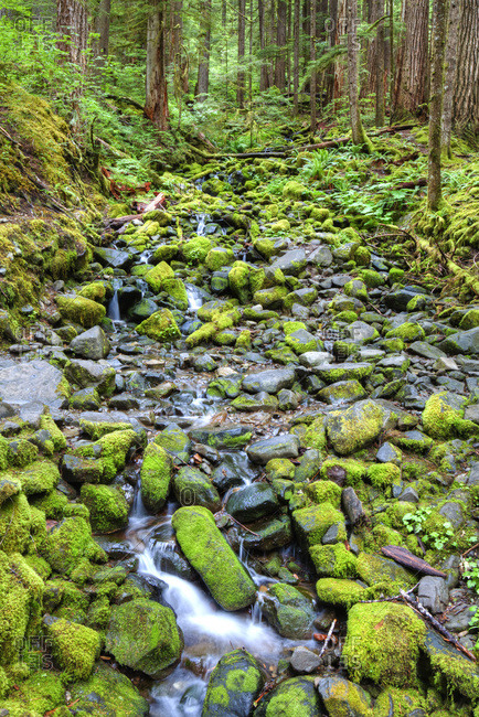 Rain Forest with small creek, Olympic National Park, UNESCO World Heritage Site, Washington, United States of America, North America