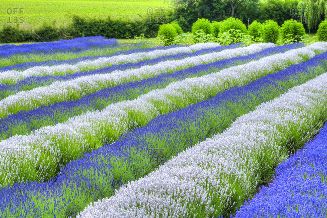 Growing white and blue lavender (Lavandula), Sequim, Olympic Peninsula, Washington, United States of America, North America