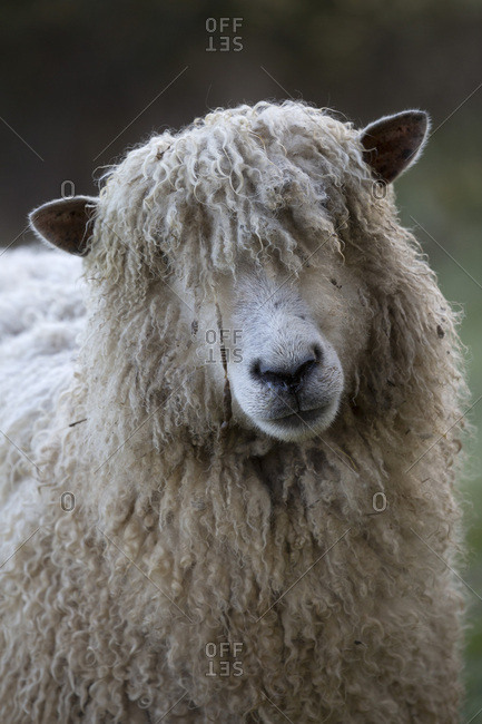 Cotswold Lion breed of sheep, Cotswolds, Gloucestershire, England, United Kingdom, Europe