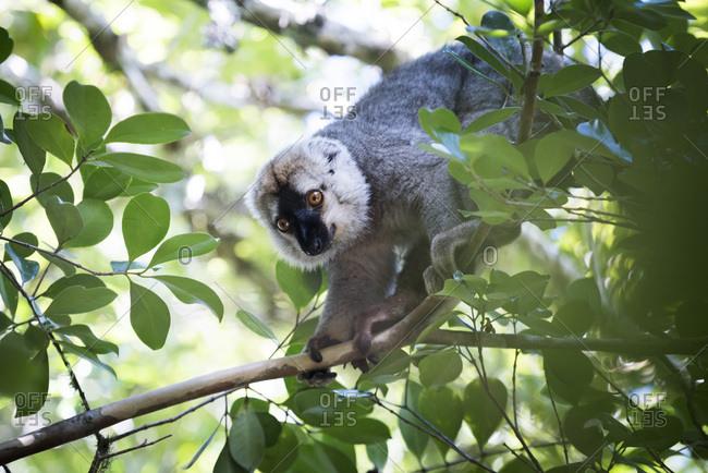 Red fronted brown lemur (Eulemur rufifrons), Ranomafana National Park, Madagascar Central Highlands, Madagascar, Africa