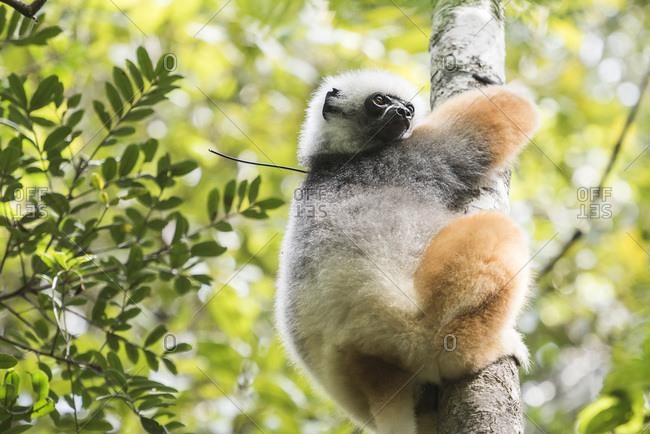 Diademed sifaka (Propithecus diadema), a large lemur in Perinet Reserve, Andasibe-Mantadia National Park, Eastern Madagascar, Africa