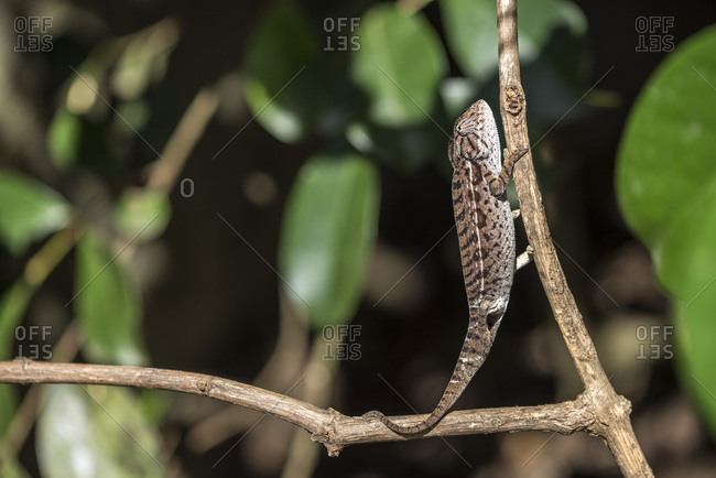 Carpet chameleon (white-lined chameleon) (Furcifer lateralis), endemic to Madagascar, Africa