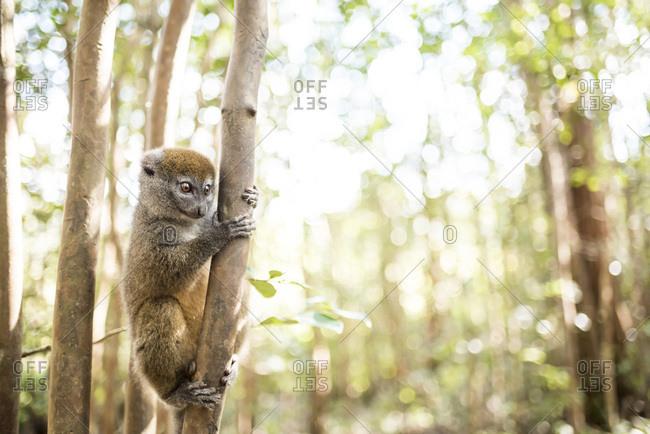 Grey bamboo lemur (Hapalemur), Lemur Island, Andasibe, Eastern Madagascar, Africa
