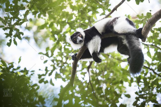 Black and white ruffed lemur (Varecia variegata), endemic to Madagascar, seen on Lemur Island, Andasibe National Park, Madagascar, Africa