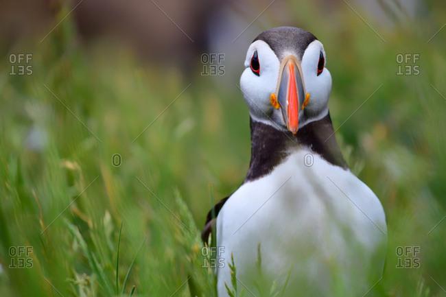 Atlantic puffin, The Farne Islands, Northumberland, England, United Kingdom, Europe