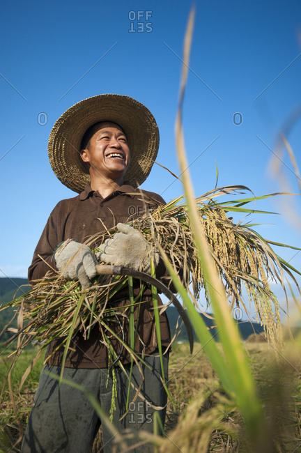October 15, 2009: A man holds a bundle of freshly harvested rice in the southern Yunnan Province, China, Asia