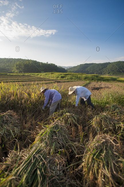 October 15, 2009: Farmers harvesting rice in the southern Yunnan Province, China, Asia