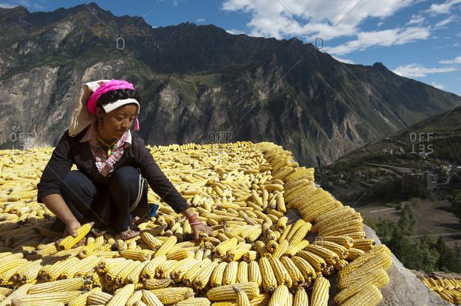 October 23, 2009: Drying maize (corn), on rooftops of traditional Tibetan houses at Jiaju Zangzhai, Sichuan Province, China, Asia