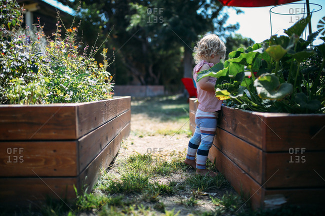 Little blonde girl looking at plants in a raised garden