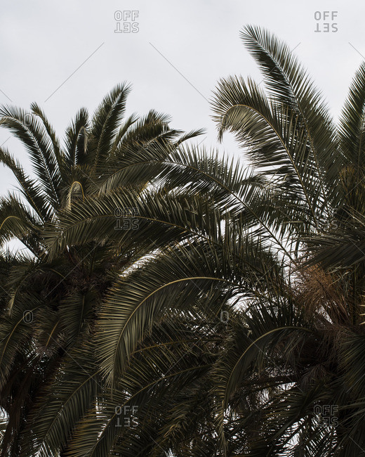 Palm trees against a white sky