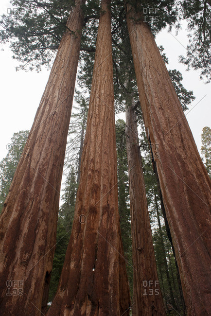Giant redwood trees, Sequoia and Kings Canyon National Parks, California, USA
