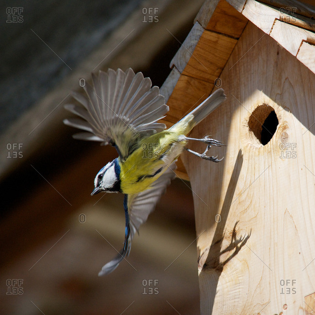 Blue tit (Cyanistes caeruleus) flying away from wooden birdhouse