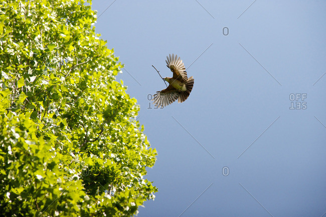 Bird flying with twig in its mouth